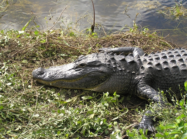 Alligator - Myakka River State Park