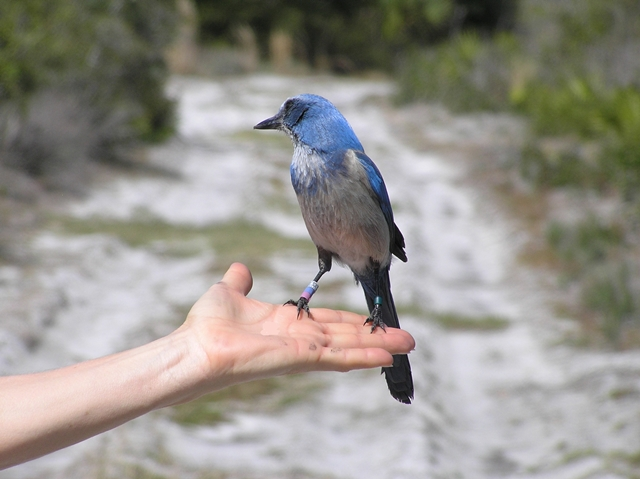 Florida Scrub Jay - Villa Happy Gator