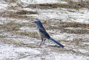 01-The Florida Scrub Jay