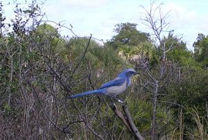 02-The Florida Scrub Jay