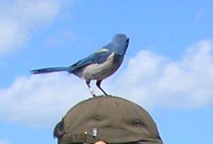 04-The Florida Scrub Jay