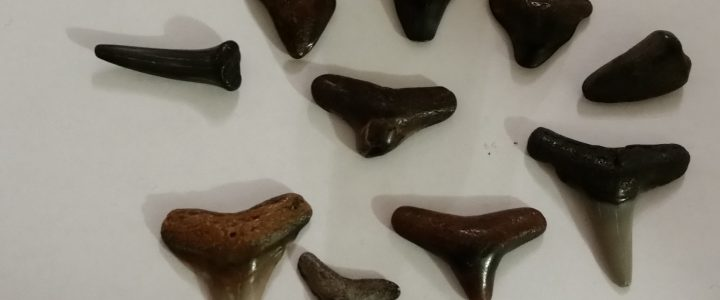 Shark Teeth in Venice Florida